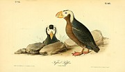 Puffin Drawings Posters - Tufted Puffins Poster by John James Audubon