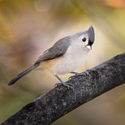 Tufted Titmouse Framed Prints - Tufted Titmouse Framed Print by Bill  Wakeley