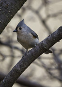 Brian Peterson - Tufted Titmouse