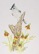 Titmouse Drawings - Tufted Titmouse by Cindy Ohama