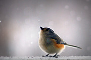Boone County Posters - Tufted Titmouse Poster by Cricket Hackmann