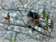 Crystal Joy Photography - Tufted Titmouse