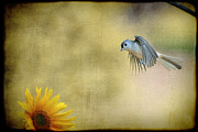 Dan Friend - Tufted Titmouse flying over flower