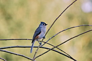 Tufted Titmouse Print by Francie Davis