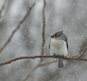 Ellen Ryan - Tufted Titmouse in the...