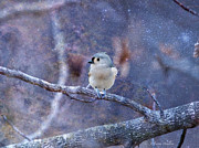 Layered Prints - Tufted Titmouse Print by J Larry Walker