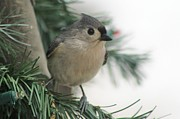 Titmouse Photo Originals - Tufted Titmouse by JoAnn Stafford