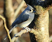 Ellen Ryan - Tufted Titmouse on Branch