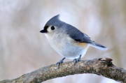 Thomas R Fletcher Metal Prints - Tufted Titmouse on Dogwood 2 Metal Print by Thomas R Fletcher