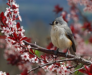 Birds With Flowers Posters - Tufted Titmouse On Ornamental Plum Blossoms Poster by Lara Ellis