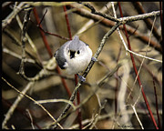 Titmouse Art - Tufted Titmouse on the watch by LeeAnn McLaneGoetz McLaneGoetzStudioLLCcom