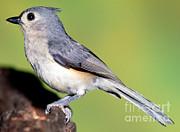 Titmouse Metal Prints - Tufted Titmouse Parus Bicolor Metal Print by Millard H. Sharp