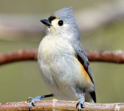 Susan Leggett Photo Acrylic Prints - Tufted Titmouse Acrylic Print by Susan Leggett
