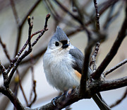 Wildlife - Tufted Titmouse by Todd Hostetter