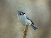 Gray Bird Posters - Tufted Titmouse Watching Poster by Sandy Keeton