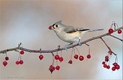 Daniel Behm Art - Tufted Titmouse with Red Berry by Daniel Behm