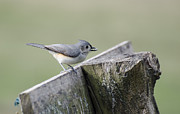 Titmouse Metal Prints - Tufted Titmouse with Seed Metal Print by Heather Applegate