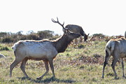 Tule Elk Photos - Tules Elks of Tomales Bay California - 7D21199 by Wingsdomain Art and Photography