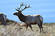 Tule Elk Posters - Tules Elks of Tomales Bay California - 7D21218 Poster by Wingsdomain Art and Photography