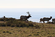 Wild Deer Prints - Tules Elks of Tomales Bay California - 7D21230 Print by Wingsdomain Art and Photography