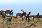 Wild Deer Prints - Tules Elks of Tomales Bay California - 7D21236 Print by Wingsdomain Art and Photography