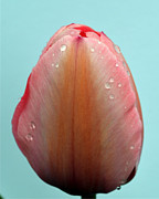Sheila Price - Tulip After Rain Maine