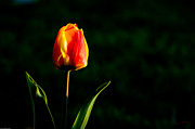 Mick Anderson - Tulip Against Darkness