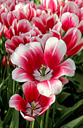 Colour Color Prints - Tulip Annemarie Print by Jasna Buncic
