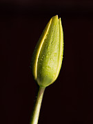 Keith Thorburn - Tulip Bud