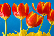 Boldness Prints - Tulip Cheer Print by Joan Herwig