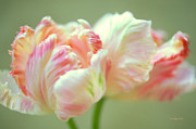 Flower Greeting Prints - Tulip Dance Print by Kathy Yates