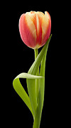 Still Life Paintings - Tulip by Danny Smythe