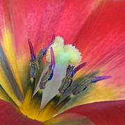 Tulip Detail Print by David and Carol Kelly