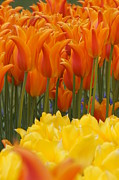 Brian Jones Prints - Tulip El Nino and Yellow Lily Print by Brian Jones