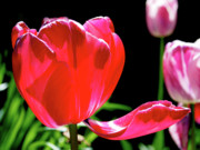 Light Fuchsia Prints - Tulip Extended Print by Rona Black