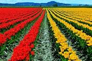 Red Tulips Prints - Tulip Farm Print by Benjamin Yeager
