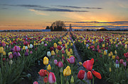 JPLDesigns - Tulip Farm Field at...