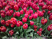 All - Tulip Festival - 13 by Hanza Turgul