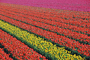 Tulip Field Print by Allen Beatty