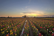 JPLDesigns - Tulip Field at Sunset