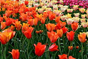 Closeup Prints - Tulip Field in Holland Print by Michelle Calkins