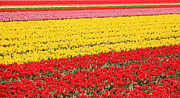 Vibrant Metal Prints - Tulip fields 1 Metal Print by Jasna Buncic