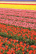 Colourful Prints - Tulip fields 2 Print by Jasna Buncic