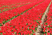 Colourful Prints - Tulip fields 3 Print by Jasna Buncic