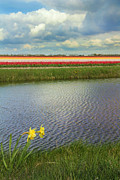 Colourful Prints - Tulip fields 4 Print by Jasna Buncic