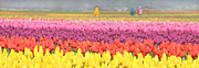 Yellow Tulips Posters - Tulip Fields Skagit Valley Washington Poster by Jennie Marie Schell