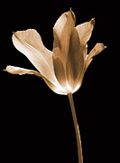 Umber Metal Prints - Tulip Flower Opening Sepia Metal Print by Jennie Marie Schell