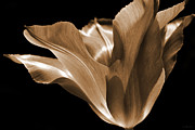 Umber Acrylic Prints - Tulip Flower Sepia Acrylic Print by Jennie Marie Schell