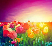Florescence Posters - Tulip flowers field Poster by Michal Bednarek