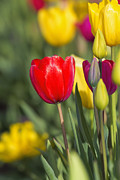 JPLDesigns - Tulip Flowers in Field...